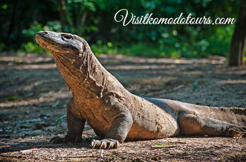 Komodo Dragon Indonesia