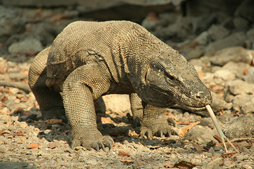 Komodo Giant Lizard