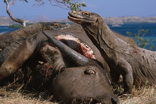 Giant Komodo Dragon