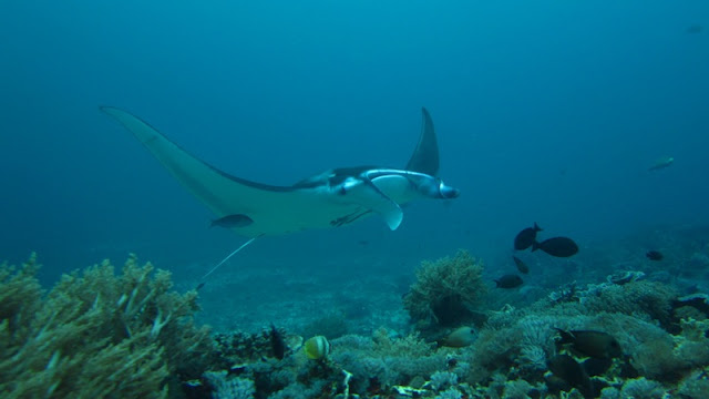 Manta Point Komodo